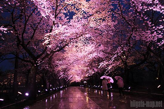 夜桜の歩道