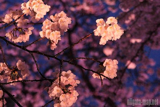 桜ロードの桜拡大