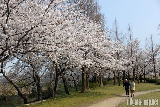 桜と遊歩道