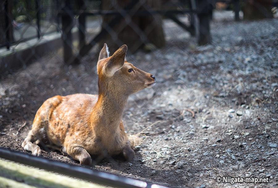 彌彦神社の鹿