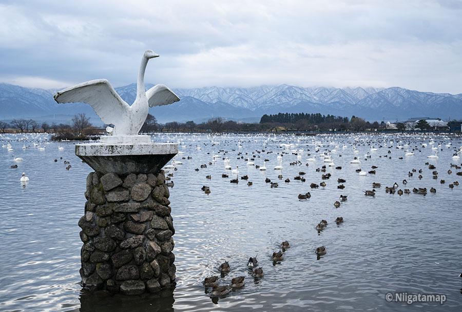 新潟県阿賀野市水原の瓢湖(ひょうこ)