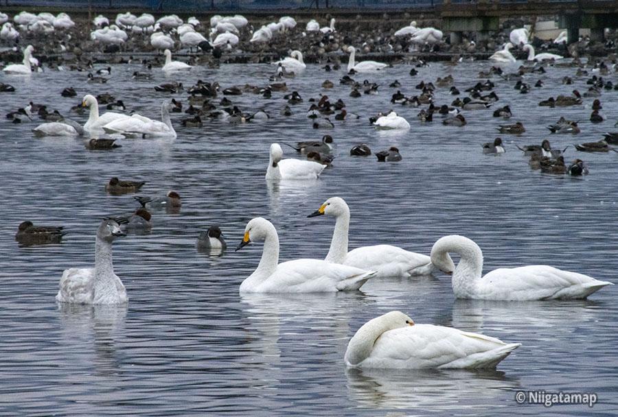 白鳥の数は11月頃にピークを迎え5千羽を超える