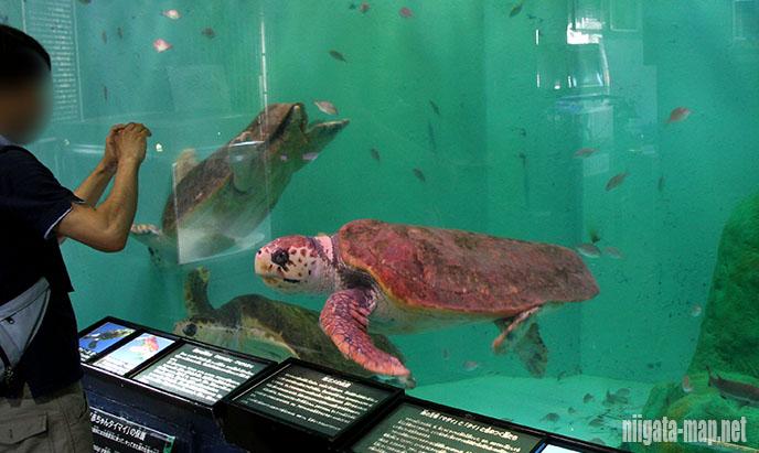 アカウミガメ(赤海亀)