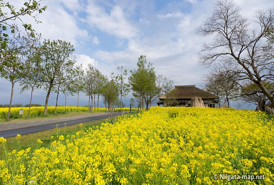 福島潟と菜の花