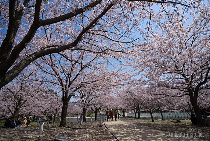 空中庭園昼の桜