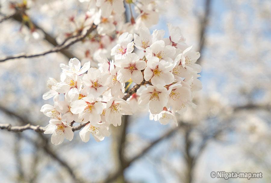 2018年の桜の咲き具合