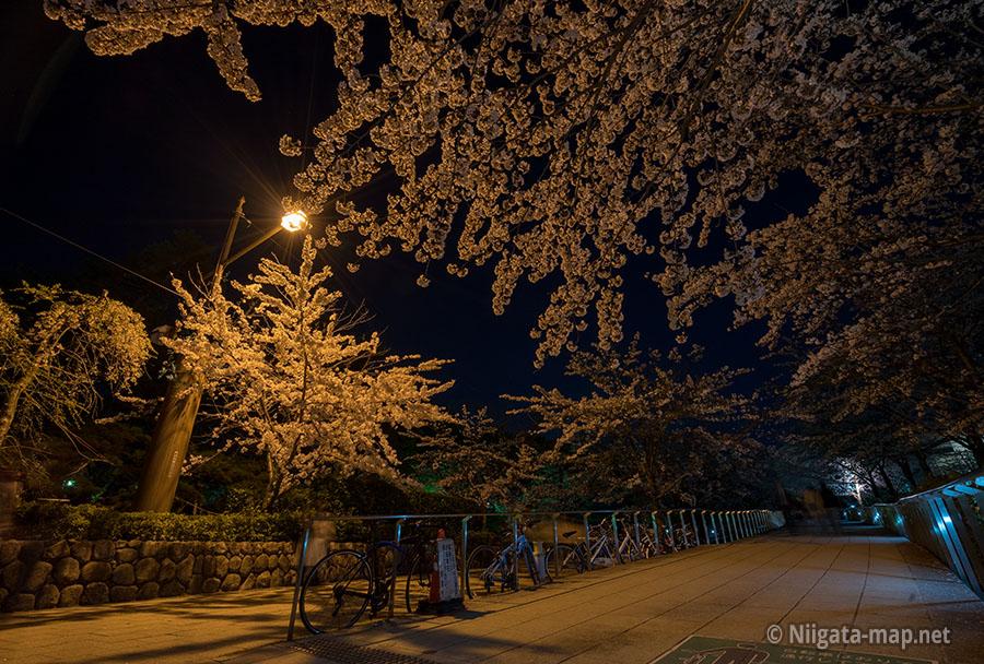 遊歩道のライトアップされた桜