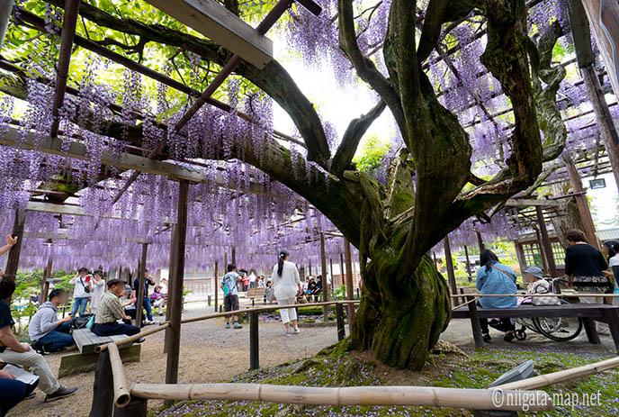 樹齢150年の大藤