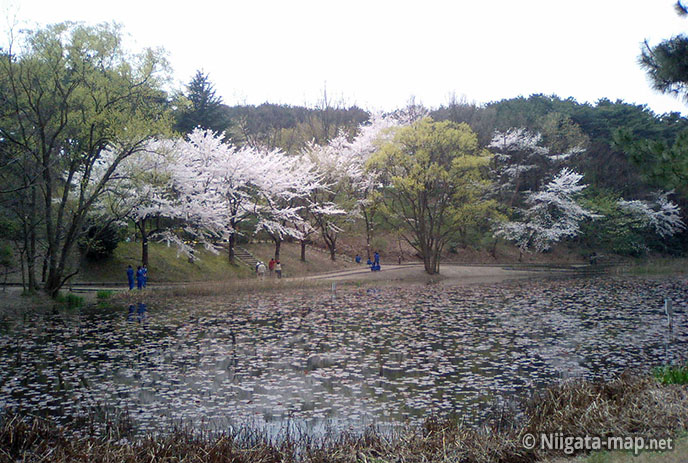 じゅんさい池と桜