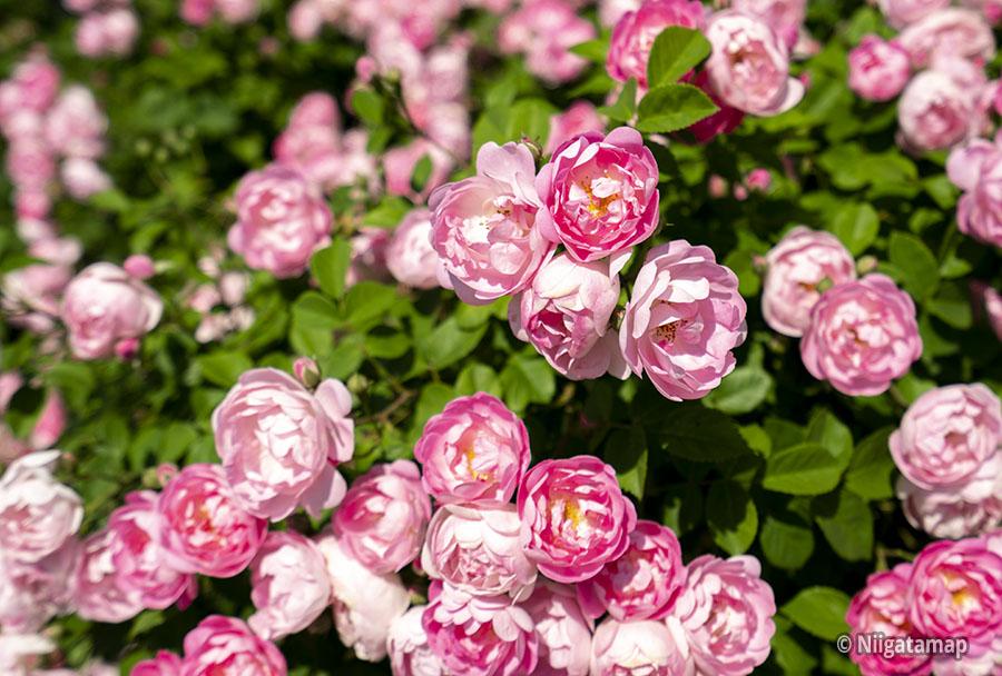 2019年6月3日のバラの様子