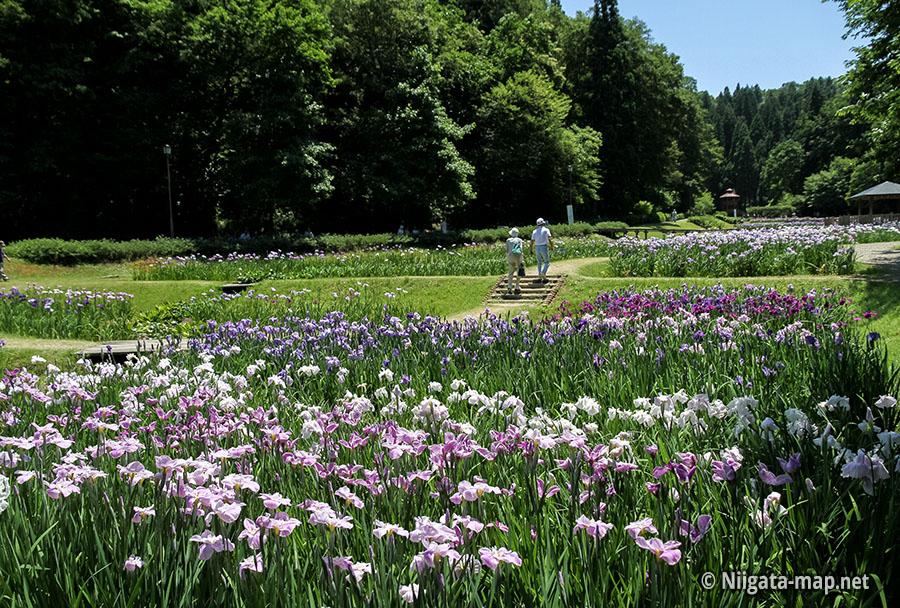 公園と花菖蒲