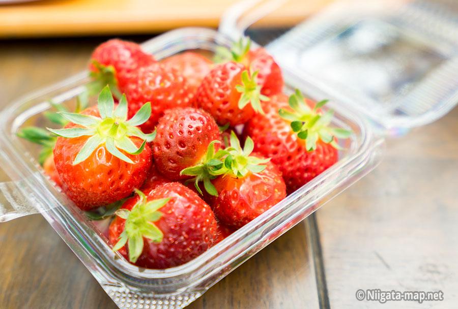 収穫したイチゴ(越後姫)