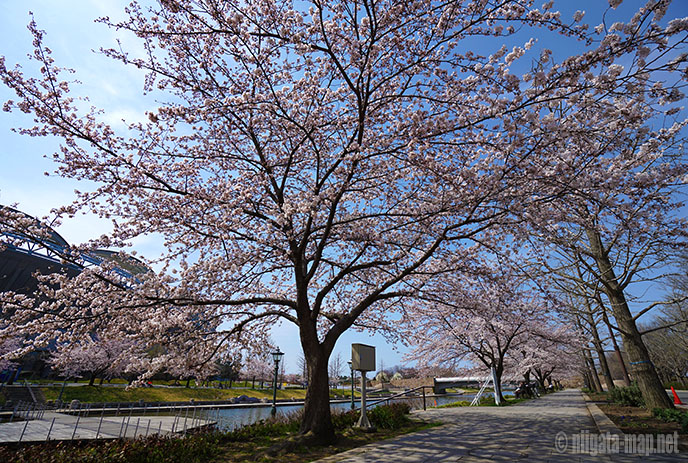 新潟県スポーツ公園の桜