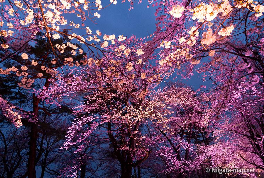 高田公園のライトアップされた夜桜