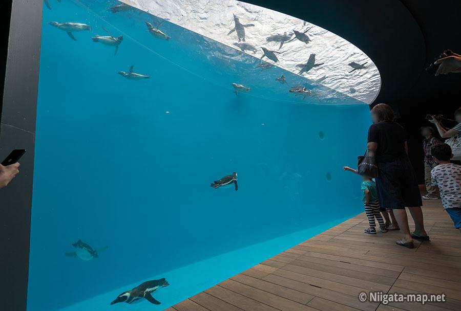 泳ぐマゼランペンギン