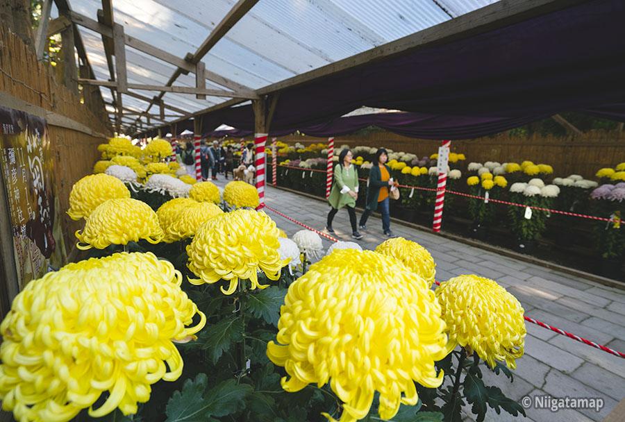 彌彦神社で「弥彦菊まつり」が11月1日から開催されます